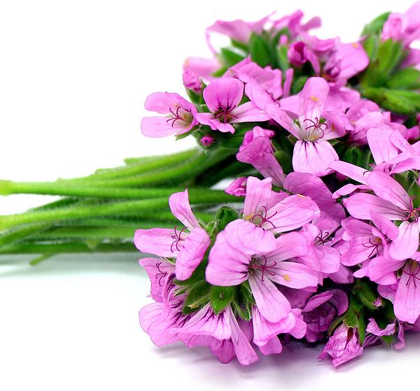 ROSE GERANIUM amelias organics
